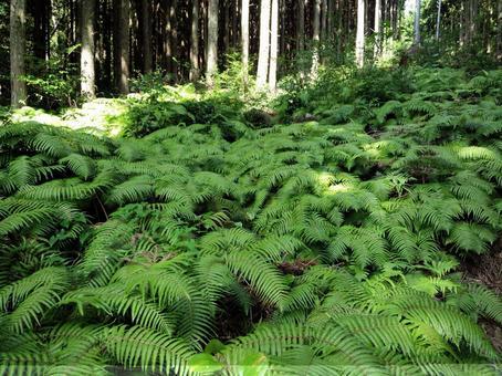 一群蕨類植物