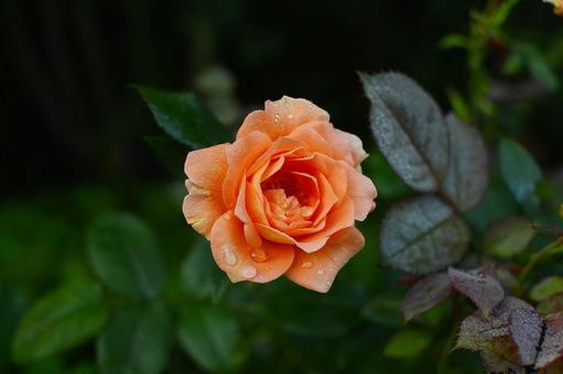 三文魚粉玫瑰與晨露 科學名稱孟加拉語