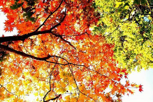 가을 단풍의 텍스처 (나뭇잎 그라데이션)