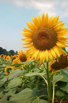 Sunflower (2015) # 91