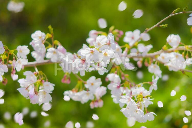 新緑_桜_桜吹雪の写真