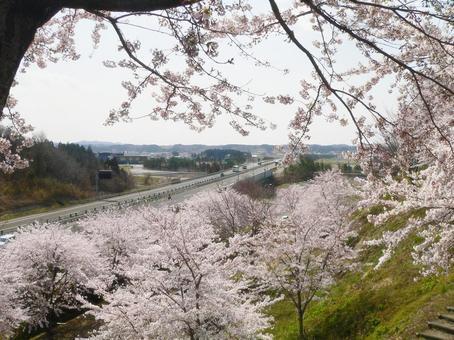 벚꽃 만개 한 공원에서 바라 보는 토호쿠 자동차