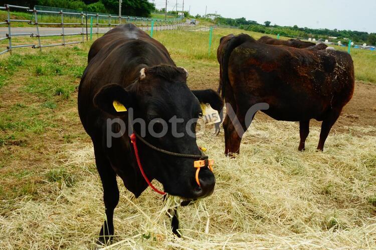 2頭の黒い牛の写真