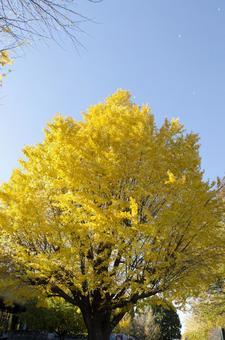 Gingko tree 4