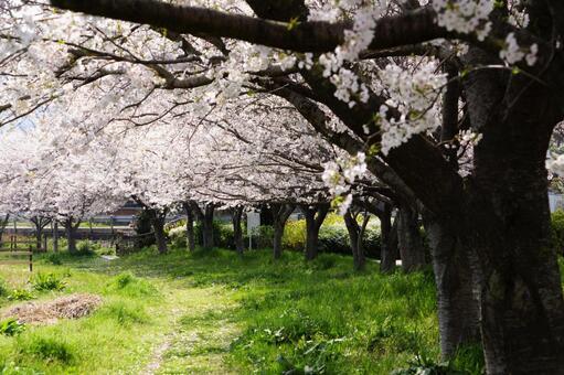왕 벚꽃 나무 만개