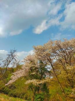봄 풍경 신록의 산 벚꽃 多摩丘陵