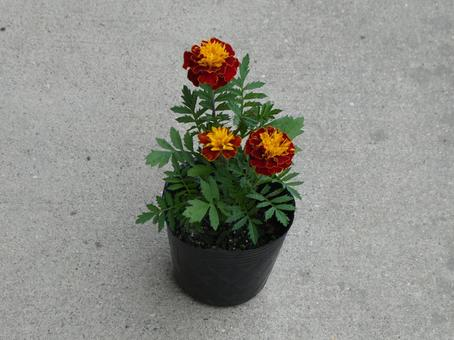 Marigold flower seedling 1 pot