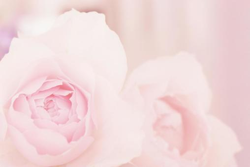Pale pink roses background material