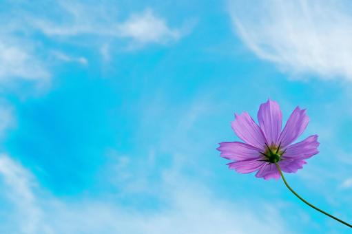 Cosmos and blue sky