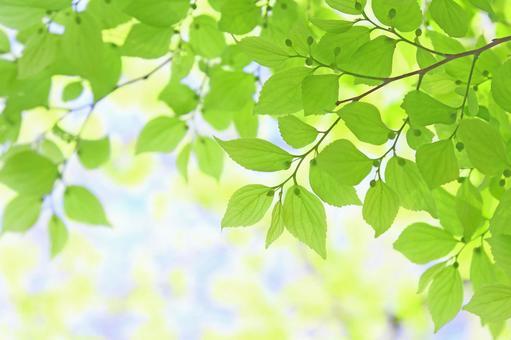 Fresh green leaves Wakaba Enoki Enoki