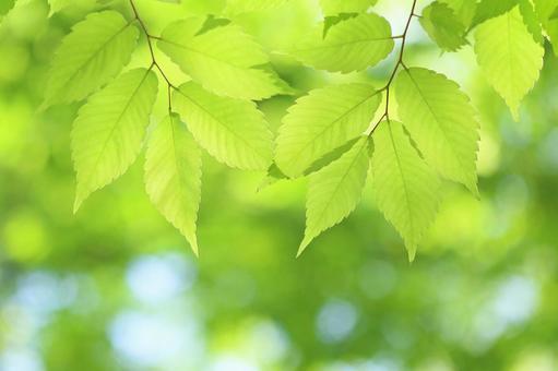 新鮮的綠葉 光亮的嫩葉 櫸樹 zelkova