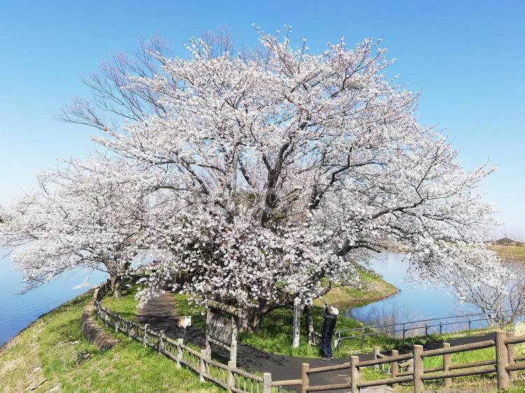 桜と公園の写真