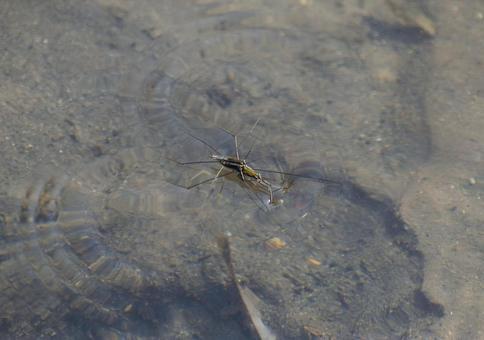 Water strider pair