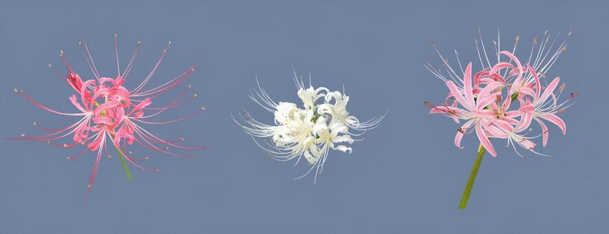히간 꽃 PSD 2