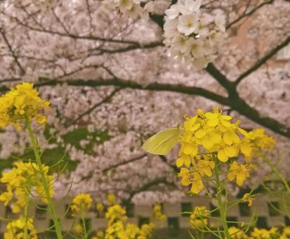 Rape blossoms, butterflies and cherry blossoms