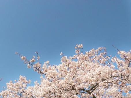 Cherry blossoms Cherry blossoms and blue sky Blue sky and cherry blossoms Sakura