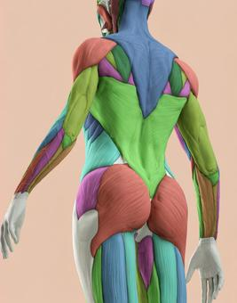 여자 근육 해부 모형