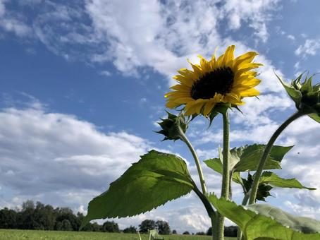 Sunflowers blooming toward the blue sky