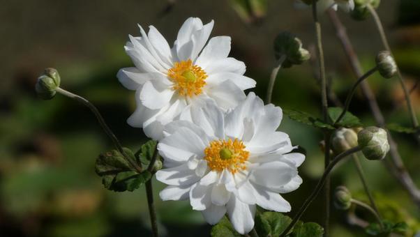 Japanese anemone flower White flower Double-flowered