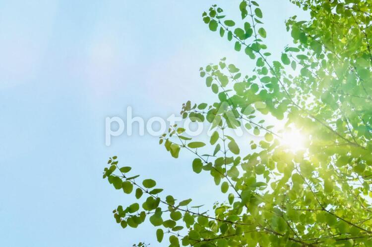 新緑 木漏れ日 青空 光の写真