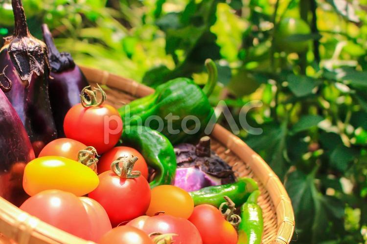 野菜 栽培の写真