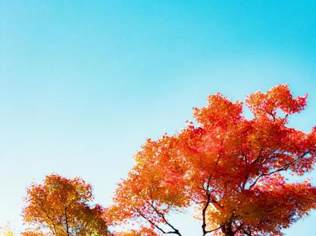 Autumn leaves and blue sky background in the morning sun