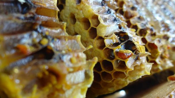 Cross section of bee nest
