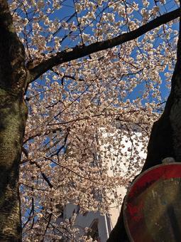 단지와 벚꽃