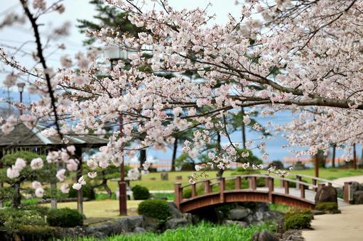 오 무라 공원의 벚꽃