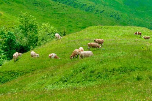 초원에서 풀을 먹는 소들