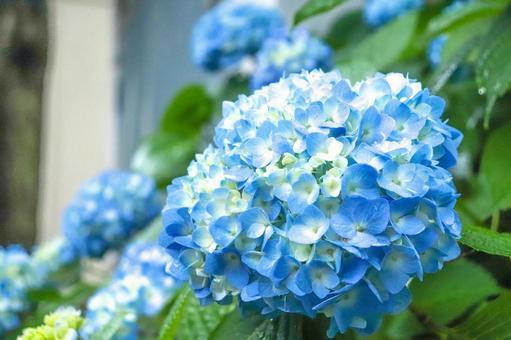 Hydrangea Hydrangea Hydrangea Blue Beautiful Beautiful Rainy season Fantastic cute Full bloom cluster June