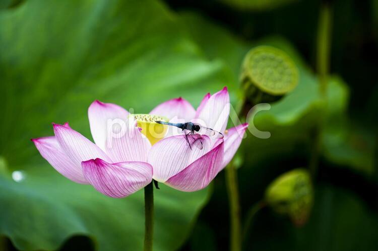 蓮の花とトンボの写真