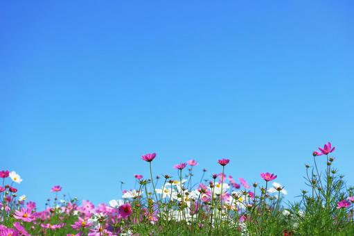 Dark pink cosmos copy space that shines in the blue sky