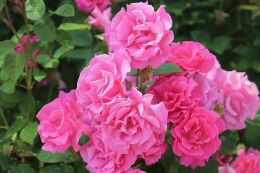 핑크 장미가 가득