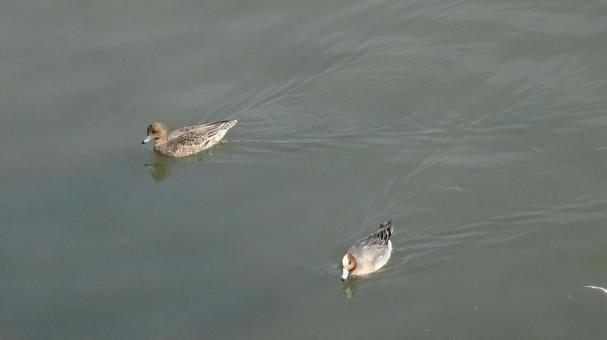 スイスイ泳ぐ水鳥
