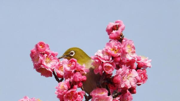 매화의 꽃과 귀여운 동박새 -3_Plum blossoms and cute birds