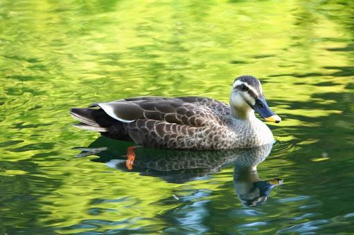 Spot-billed ducks