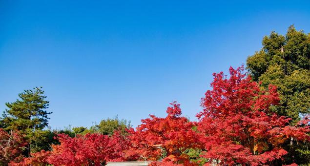 秋天在藍天的秋葉