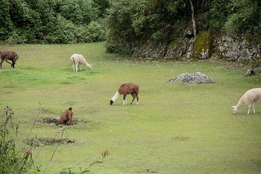 마추피추에 사는 알파카들