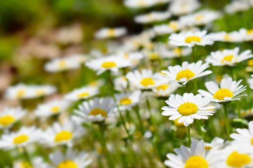 Spring flower field with marguerites