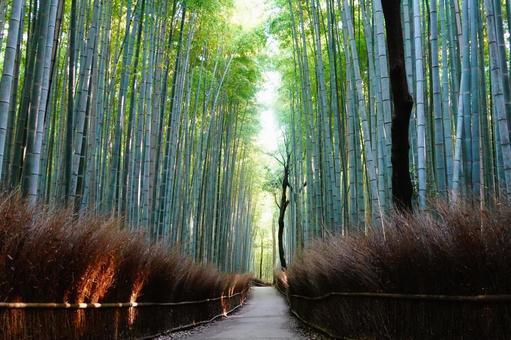 Kyoto Arashiyama Bamboo forest small diameter Going through the sunlight through the trees