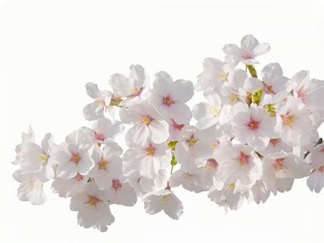 満開の桜の枝3