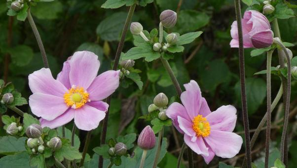 Japanese anemone flowers and buds 2