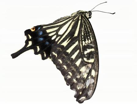 Swallowtail butterfly clipping masked