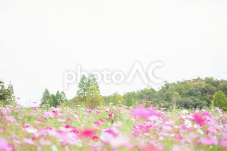 コスモス畑13の写真