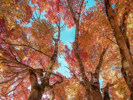 秋葉在陽光下閃閃發光的形象
