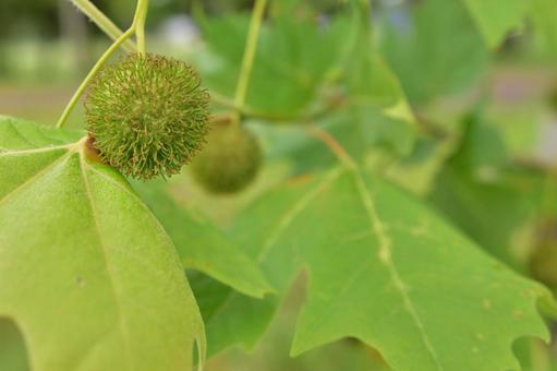 모미지바후우의 열매