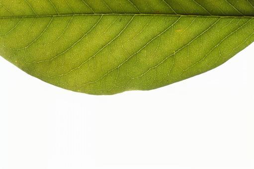 녹색 잎 の 에센 (잎) 4