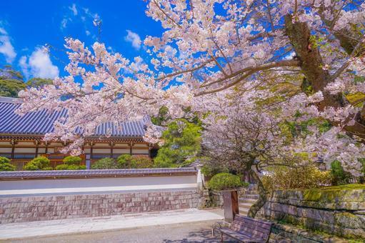 원각사의 만개 한 벚꽃 (가나가와 현 가마쿠라시)