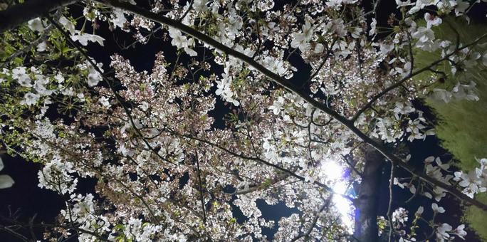 Cherry blossoms at night in full bloom